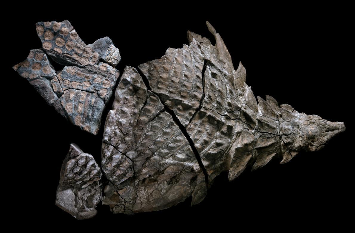"""Découverte d'une """"momie de dinosaure"""" au Canada ! Par Nathan Weber Nodosaur-fossils-herbivore-puzzle.adapt.1190.1"""