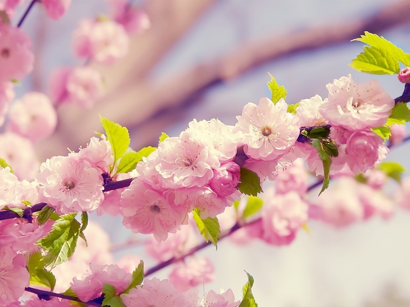 Proleće - Page 3 Cherry-blossom-close-up-wallpaper-5368