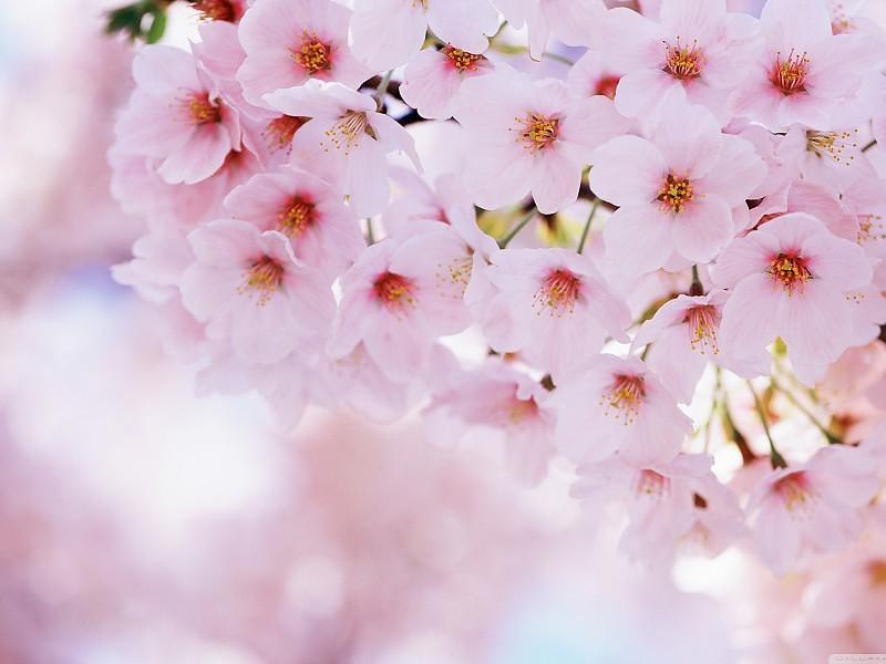 Proleće - Page 3 Cherry-blossom-wallpaper-desktop-hd-4312