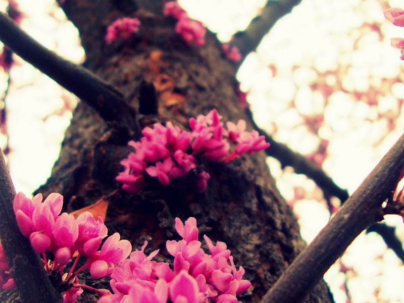 Proleće - Page 3 Cherry-blossom-tree-wallpaper-2005