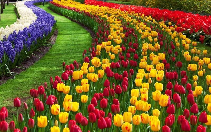 Parkovi i vrtovi Tulip-flowers-high-definition-wallpapers-cool-desktop-background-pictures-widescreen-397113