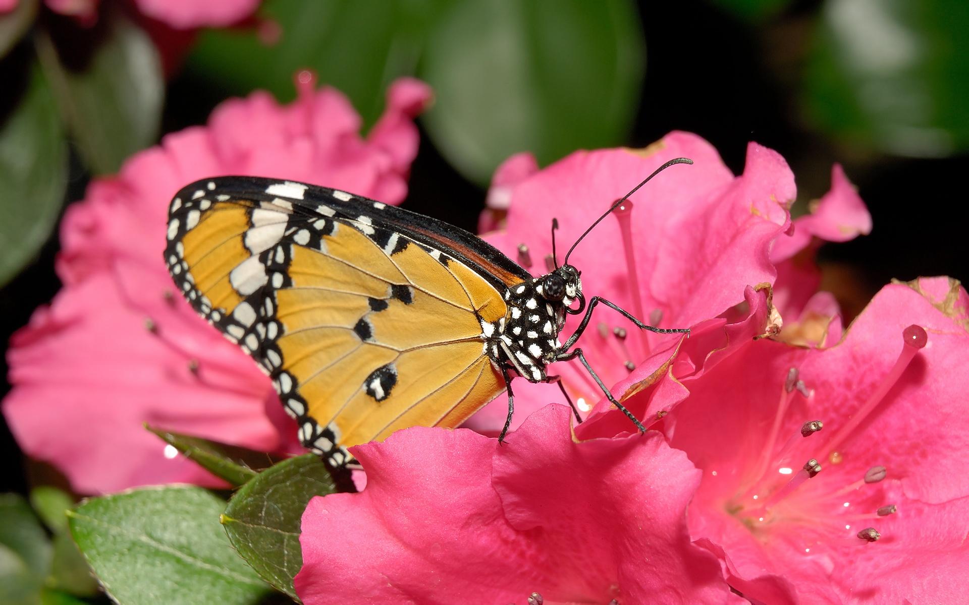 வால்பேப்பர்கள் ( flowers wallpapers ) 01 - Page 4 Flowers-wallpaper-butterfly-homepage-pink-12851