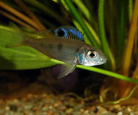 Sélection de aqualifestyle-france - les poissons du Tanganyika - Afrique Ectodus-male-patapa