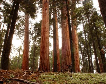 paradisi ...naturali, perchè in fondo siamo tutti ecologisti California-giant-sequoia-trees