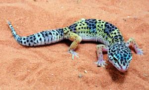 que suis je? Martin 31 juillet trouvé par Ajonc Pet-leopard-gecko