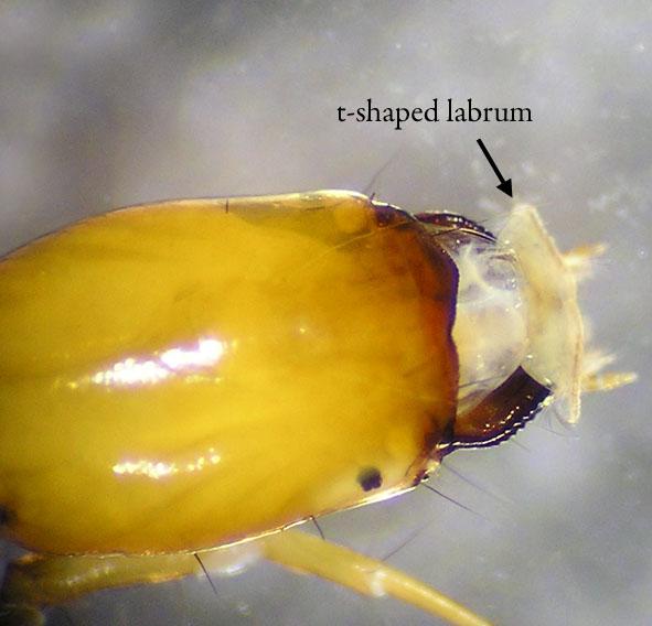 Bộ sưu tập côn trùng 2 - Page 27 Dolophilodes_head1