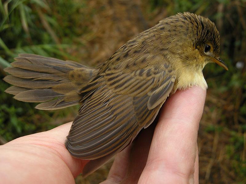 un oiseau -ajonc- 19 février bravo Martine  Locnae100815_1rw