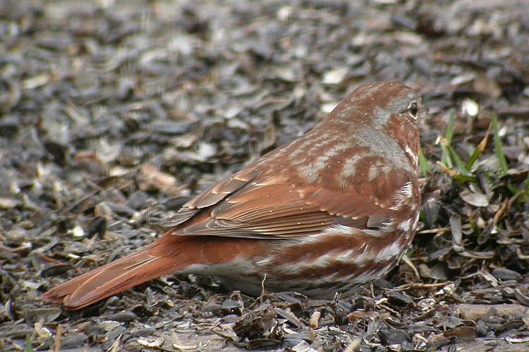 Un oiseau à découvrir - ajonc - 23.09 trouvé par Martine Bruant_fauve0063