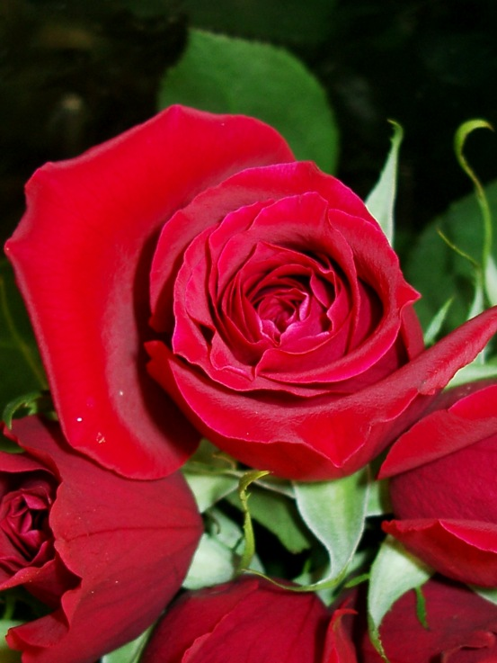Trendafila - Faqe 2 Rose1