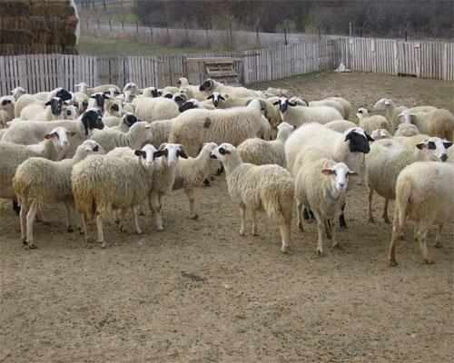 Koyun Resimleri Koyun1