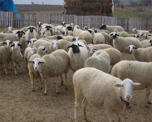 Koyun Resimleri Koyun2