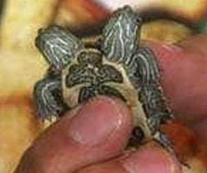 Une tortue qui a deux têtes et cinq pattes Deux_tetes