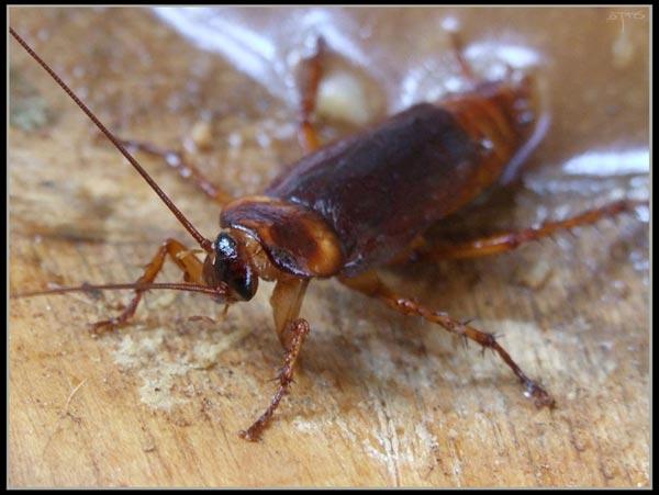 Le monde merveilleux des insectes - Page 4 Blatte-13