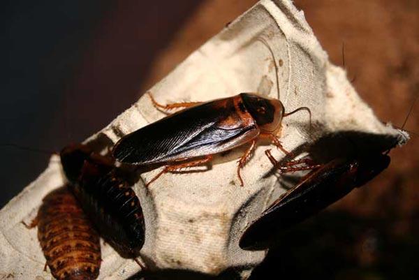 Le monde merveilleux des insectes - Page 4 Blatte_02