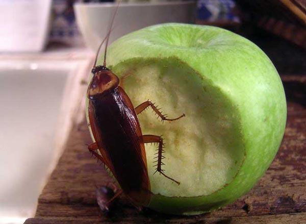 Le monde merveilleux des insectes - Page 4 Blatte_04