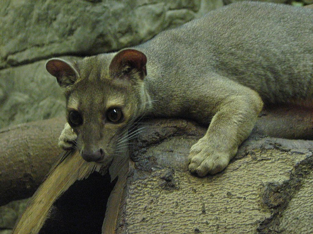 un animal par blucat - 30 août trouvé par ajonc  Madagascar-fossa_jpg