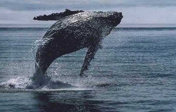Série Manimal - En quel animal aimeriez vous, vous transformez ? Baleine_bosse_003