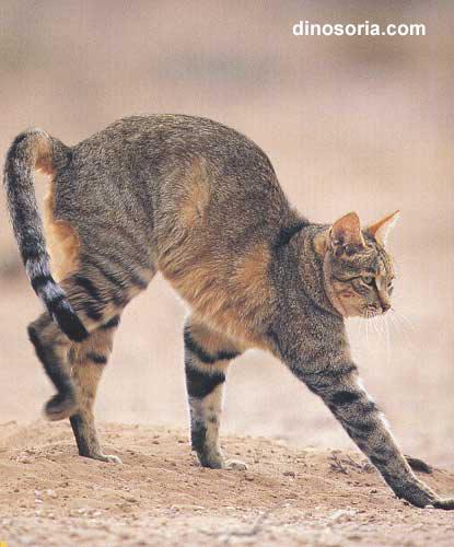 Stop à l'invasion des chats ! Chat_afrique