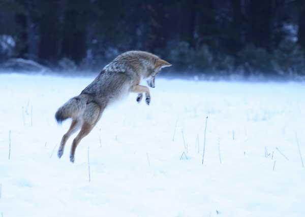الــداهــيــة ( الـقــيــوط ) Coyote-5007