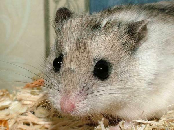 un animal par blucat trouvé par sylvie et  martin - Page 2 Hamster_chinois_02