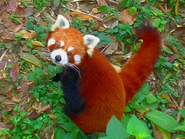 Les animaux Red_panda_03
