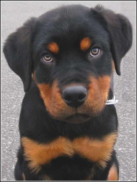 Rottweiler qui est-tu? Rottweiler-4