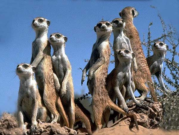Les animaux - Page 6 Suricate_ld01
