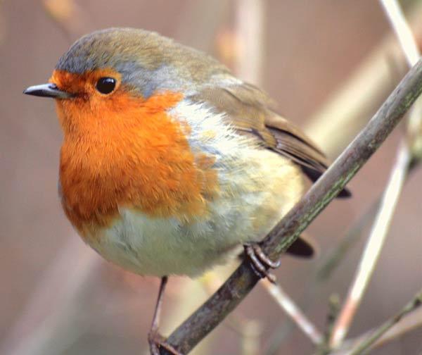 Les oiseaux : la passion de Marylou - Page 27 Rouge-gorge-100