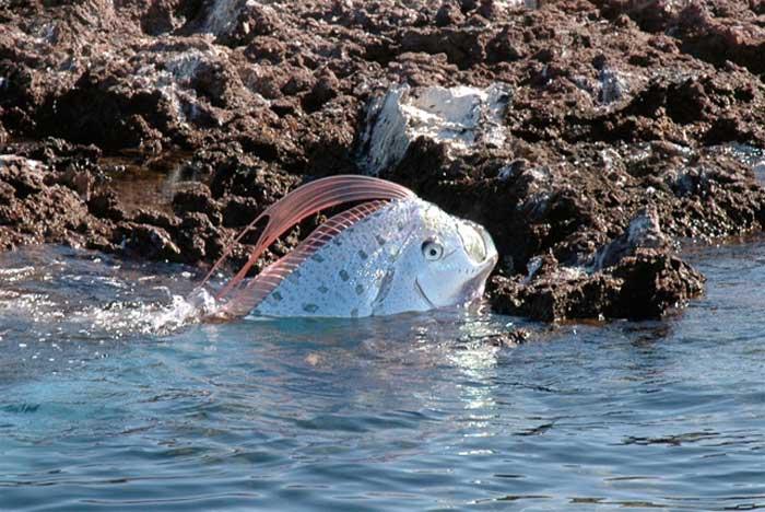 Un «monstre» des océans vivant filmé pour la première fois Regalec_02