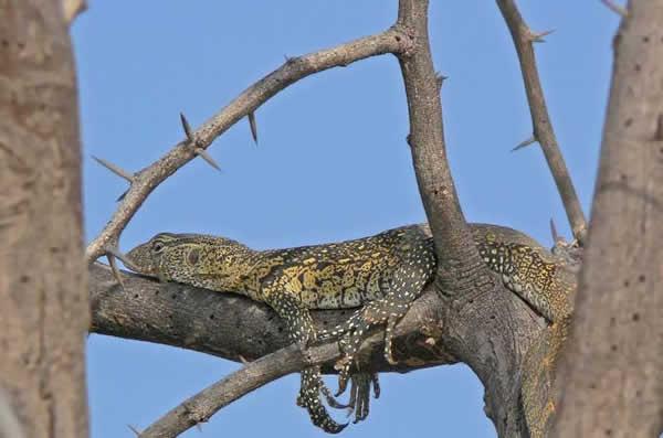Le dragon de komodo est venimeux?!! Varan_nil