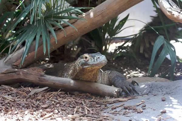 Le dragon de komodo est venimeux?!! Varan_nil_05