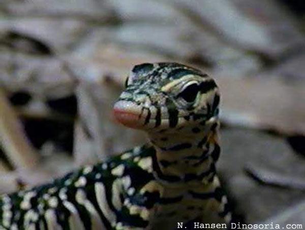 Le dragon de komodo est venimeux?!! Varan-malais-8