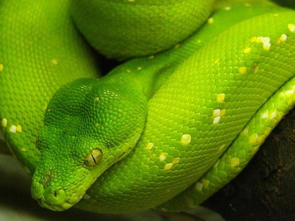 La Cabale du croc languissant Python-804