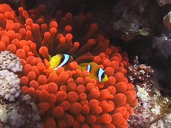 بعض من اسماك الزينه Anemone