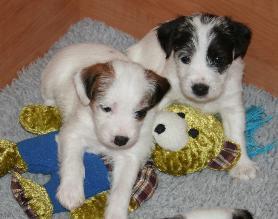 Person Raselov terijer Zeebee-Puppies-08-04-08-36jours-03-278x219