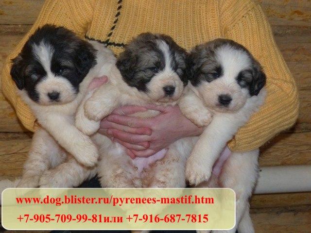 Предлагаем чистокровных щенков Пиренейского мастифа из питомника Аманауз 419