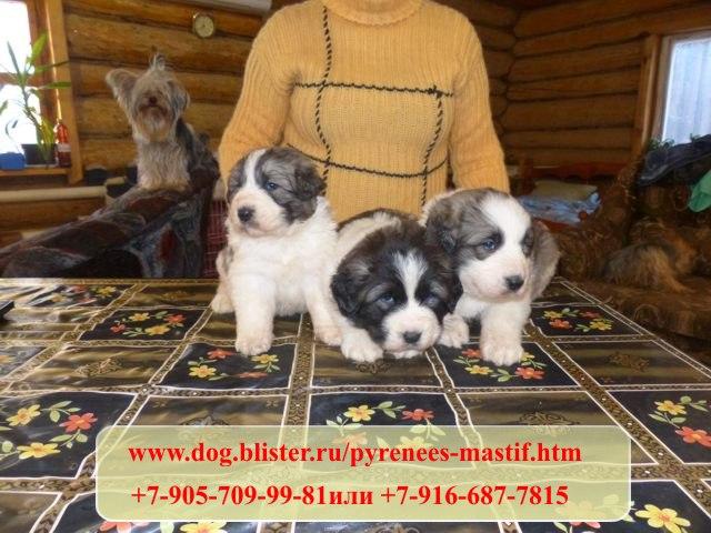 Предлагаем чистокровных щенков Пиренейского мастифа из питомника Аманауз 424