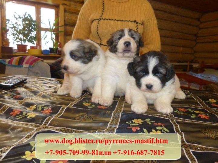Предлагаем чистокровных щенков Пиренейского мастифа из питомника Аманауз 427