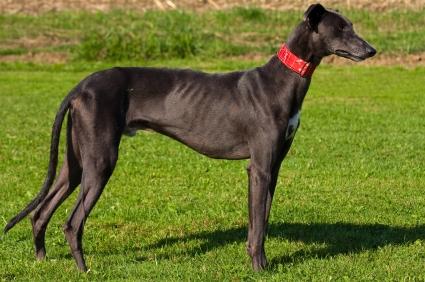 Le Chupacabra photographié près de Denver ? Greyhound