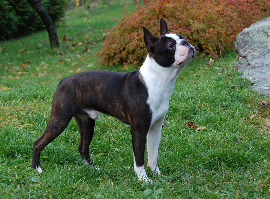 Le Terrier de Boston Boston_Terrier_Middle_Aged