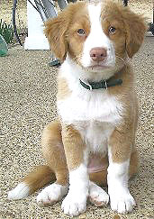 Nova Scotia Duck Tolling Retriever Nova_scotia_duck_tolling_retriever_madeline1b