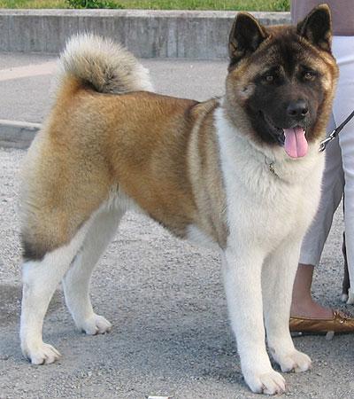 [Sondage] Top 10 des chiens les plus impressionants Japanese_american_akita_h07