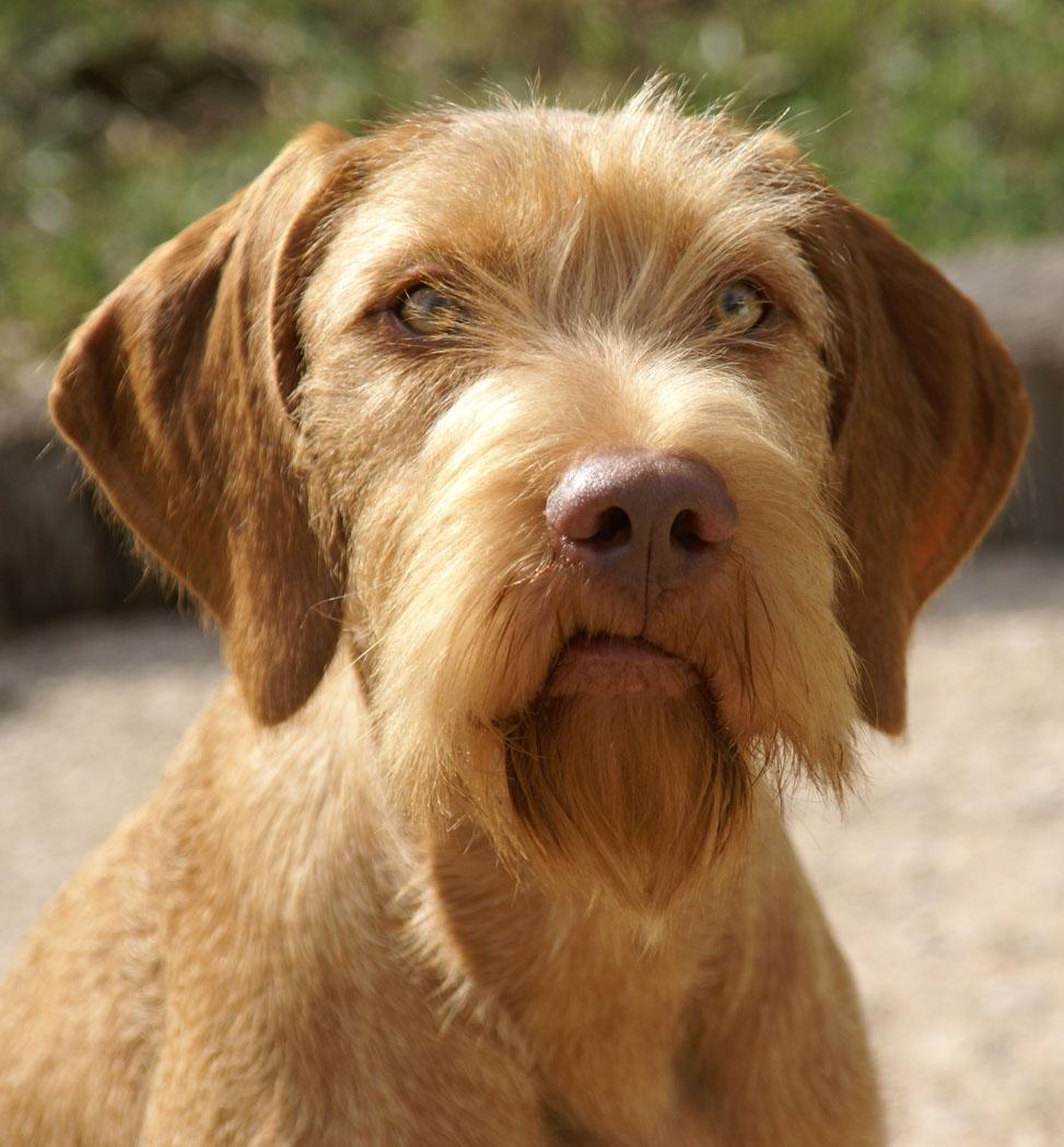 Braque Hongrois ou Viszla Cute-wirehaired-vizsla-dog-wallpaper
