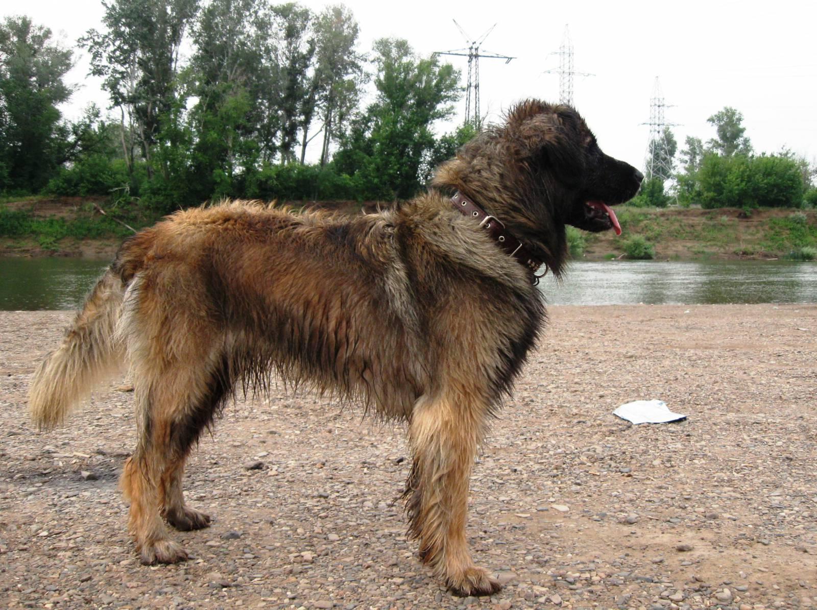 .: Tame and Wild :. .: Wild/Tame dog rp :. Walking-leonberger-dog-wallpaper