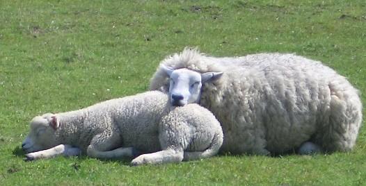 Sharon Van Etten 7793_Mama_and_baby_sheep