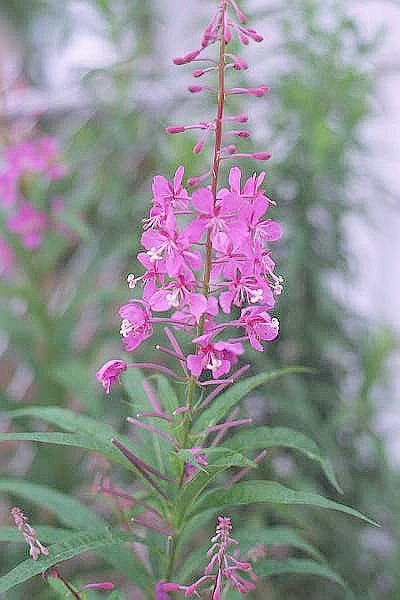 Living Off the Land: 52 Highly Nutritious, Wild-Growing Plants You Can Eat Fireweed2000