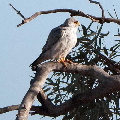 Falconiformes. sub Falconidae - sub fam Falconinae - gênero Falco - Página 2 Greyfalcon