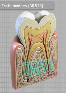 عکسهای دندان Tooth-anatomy2