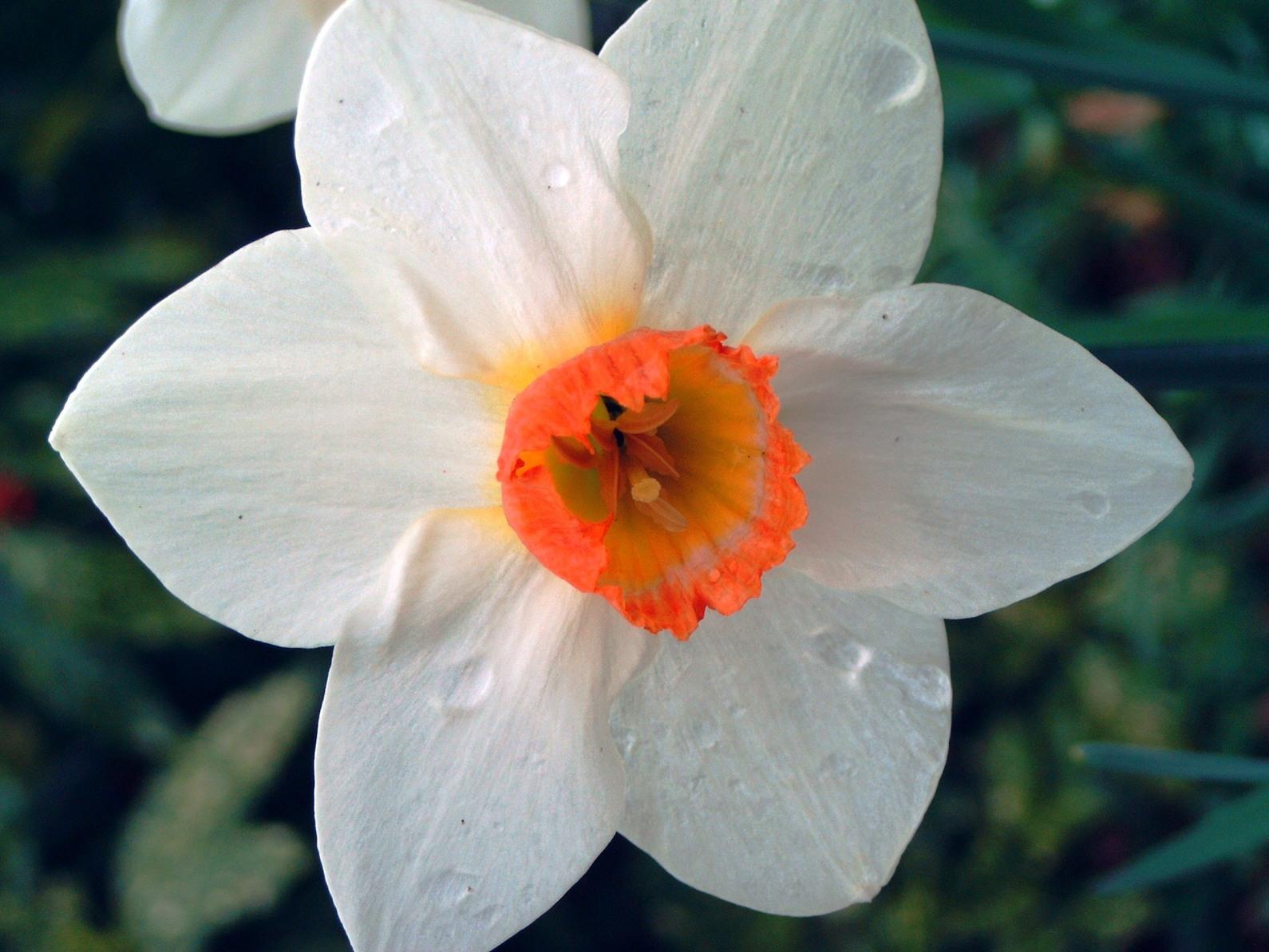 Nos amies les fleurs (Symbolisme) - Page 11 Narcisse%20des%20poetes%201
