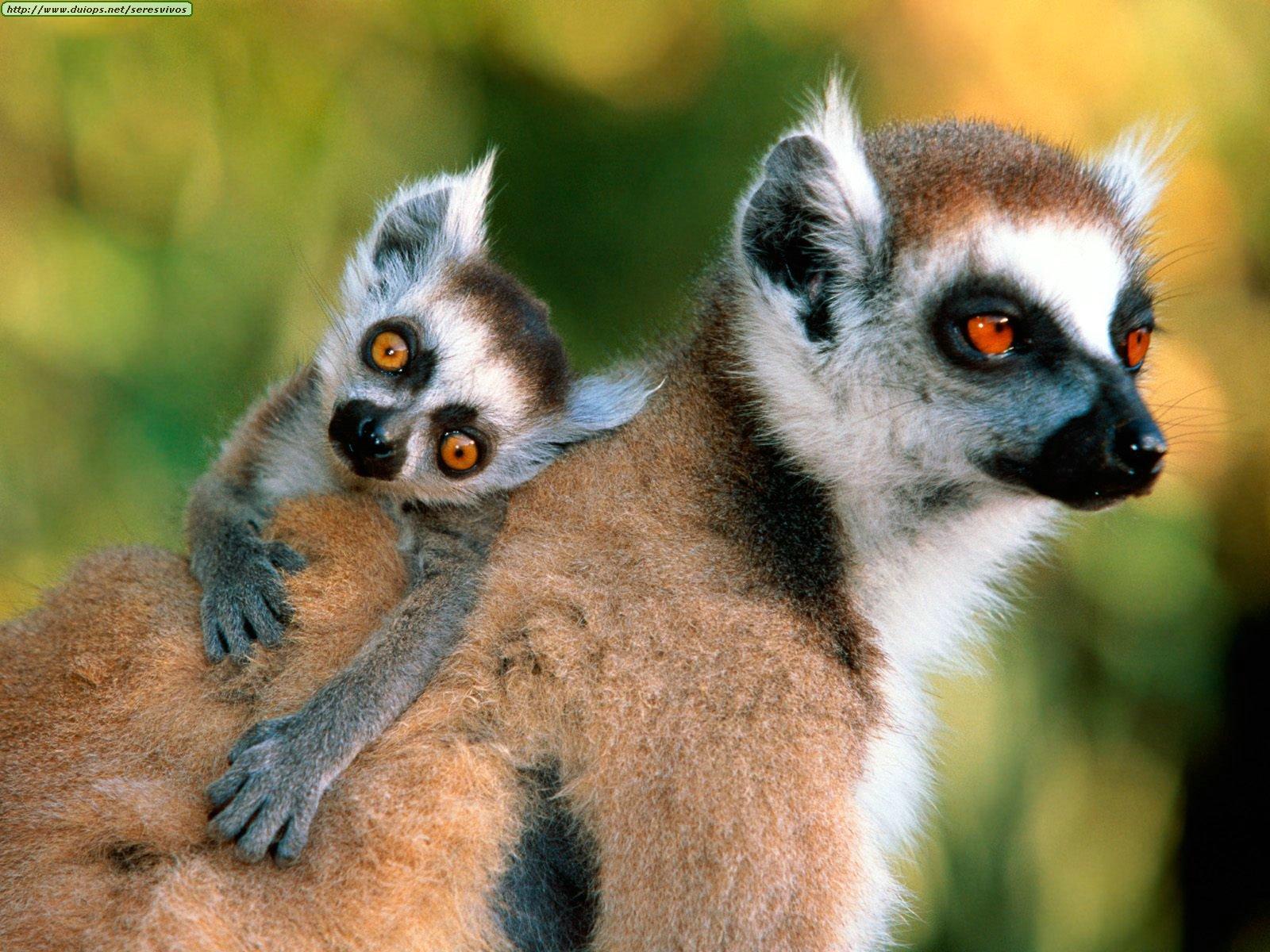 El juego de los animales Y LAS  FRUTAS - Página 4 Animals%20Families_Ring-tailed%20Lemurs
